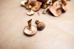 蜜环菌属mellea蘑菇 库存照片