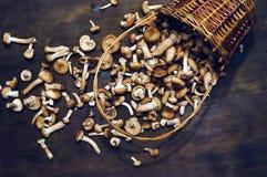 Mellea Armillaria γνωστό συνήθως ως μύκητας μελιού στο συσσωρευμένο ψάθινο καλάθι Στοκ εικόνες με δικαίωμα ελεύθερης χρήσης