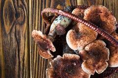 Mellea Armillaria γνωστό συνήθως ως μύκητας μελιού στο συσσωρευμένο ψάθινο καλάθι Το πλήρες ψάθινο καλάθι φρέσκου εδώδιμου εθνικο Στοκ φωτογραφίες με δικαίωμα ελεύθερης χρήσης