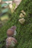 Mellea Armillaria, μύκητας μελιού και Russula Στοκ φωτογραφία με δικαίωμα ελεύθερης χρήσης