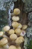 Mellea Armillaria, μύκητας μελιού Στοκ Φωτογραφία