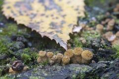 Mellea Armillaria, μύκητας μελιού Στοκ εικόνα με δικαίωμα ελεύθερης χρήσης
