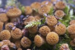 Mellea Armillaria, μύκητας μελιού Στοκ φωτογραφίες με δικαίωμα ελεύθερης χρήσης