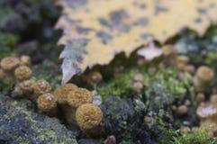 Mellea Armillaria, μύκητας μελιού Στοκ Εικόνες