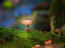 Mellea Armillaria грибка меда Стоковое Фото