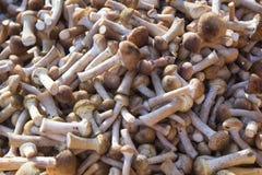 Mellea Armillaria пластинчатого гриба меда грибов Стоковые Изображения RF