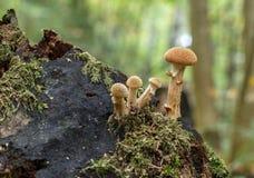 Mellea Armillaria Στοκ Φωτογραφίες