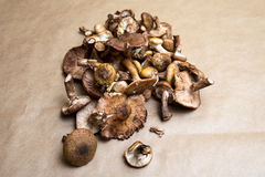 Mellea Armillaria Στοκ Εικόνες