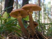 mellea armillariella Στοκ φωτογραφίες με δικαίωμα ελεύθερης χρήσης