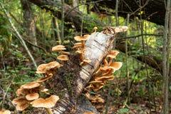 Mellea comestible del armillaria del ag?rico de la miel de las setas en un tronco de ?rbol caido en el bosque del oto?o temprano  fotos de archivo libres de regalías