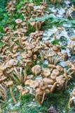 Mellea do Armillaria dos cogumelos Foto de Stock Royalty Free