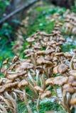 Mellea van paddestoelenarmillaria Stock Foto's