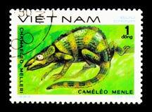Meller \ «s Chamaeleon (melleri Chamaeleo), ερπετά serie, circa 1 στοκ φωτογραφία με δικαίωμα ελεύθερης χρήσης