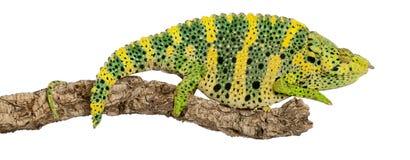 meller одно s хамелеона гигантское horned Стоковое Изображение