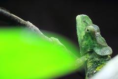 Meller chameleon Stock Images