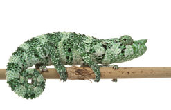 meller s хамелеона Стоковые Фото