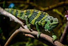 Meller's chameleon on a branch Stock Image