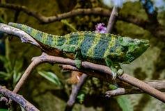 Meller's chameleon on a branch Stock Images