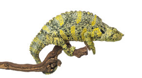 Meller's Chameleon on a branch - Trioceros melleri - isolated on Stock Images
