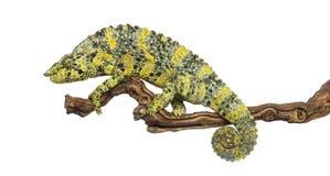 Meller's Chameleon on a branch - Trioceros melleri - isolated on Stock Photo