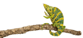 Meller's Chameleon, Giant One-horned Chameleon Stock Photo