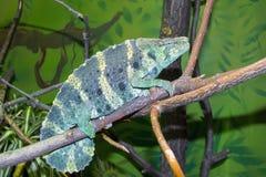Meller's chameleon (Trioceros melleri) Stock Photos