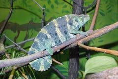 Meller's chameleon (Trioceros melleri) Royalty Free Stock Photos