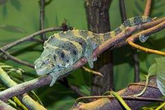 Meller's chameleon (Trioceros melleri) Stock Image