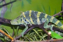 Meller's chameleon (Trioceros melleri) Royalty Free Stock Image