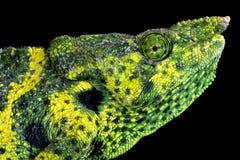 Meller's chameleon (Trioceros melleri) Stock Images