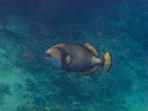mellersta sikt för grön triggerfish Arkivfoto