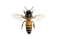 mellifera μελισσών apis Στοκ εικόνα με δικαίωμα ελεύθερης χρήσης