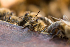 Mellifera пчелы/Apis Стоковое Изображение RF
