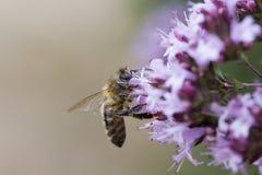 Mellifera Apis пчелы меда на ` laevigatum Origanum душицы здесь стоковые изображения rf