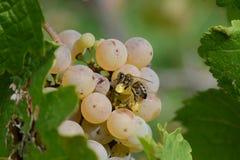 Mellifera d'api d'abeille de miel sur le raisin de cuve photos libres de droits