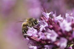 Mellifera de Honey Bee Apis em oréganos Foto de Stock Royalty Free