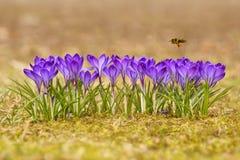 Mellifera de los Apis de la abeja, abeja que vuela sobre las azafranes en la primavera Imágenes de archivo libres de regalías