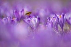 Mellifera de los Apis de la abeja, abeja que vuela sobre las azafranes en la primavera Imagen de archivo libre de regalías