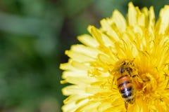 Mellifera de los Apis de la abeja de la miel Imágenes de archivo libres de regalías