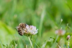 Mellifera de los Apis de la abeja de la miel en la pequeña flor del trébol Foto de archivo libre de regalías