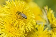 Mellifera de los Apis de la abeja de la miel que recoge el néctar de flores del dande Fotografía de archivo