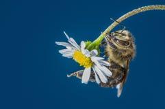 Mellifera de los apis de la abeja en una flor Imágenes de archivo libres de regalías