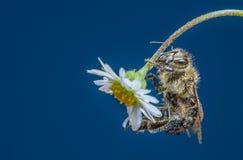 Mellifera de los apis de la abeja en una flor Imagenes de archivo