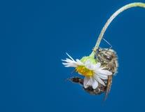 Mellifera de los apis de la abeja en una flor Imagen de archivo