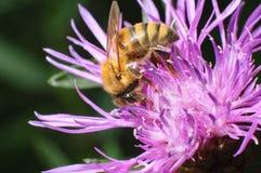 Mellifera de los Apis de la abeja que se sienta en la flor violeta Foto de archivo