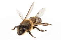 Mellifera de los apis de la especie de la abeja Fotos de archivo libres de regalías