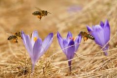 Mellifera de los Apis de las abejas, abejas que vuelan sobre las azafranes en la primavera Fotos de archivo libres de regalías