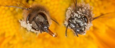 Mellifera de los apis de la abeja con polen Imagen de archivo