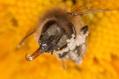 Mellifera de los apis de la abeja con polen Fotos de archivo libres de regalías
