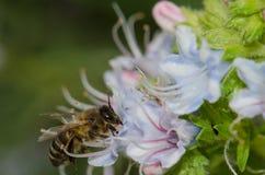 Mellifera de los Apis de la abeja de la miel que alimenta en una flor del decaisnei del Echium Imagenes de archivo